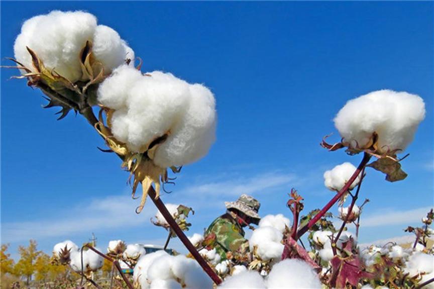 棉花争相吐絮 新疆迎来采棉旺季